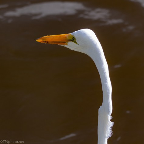 Great Egret, Ignoring Me - click to enlarge