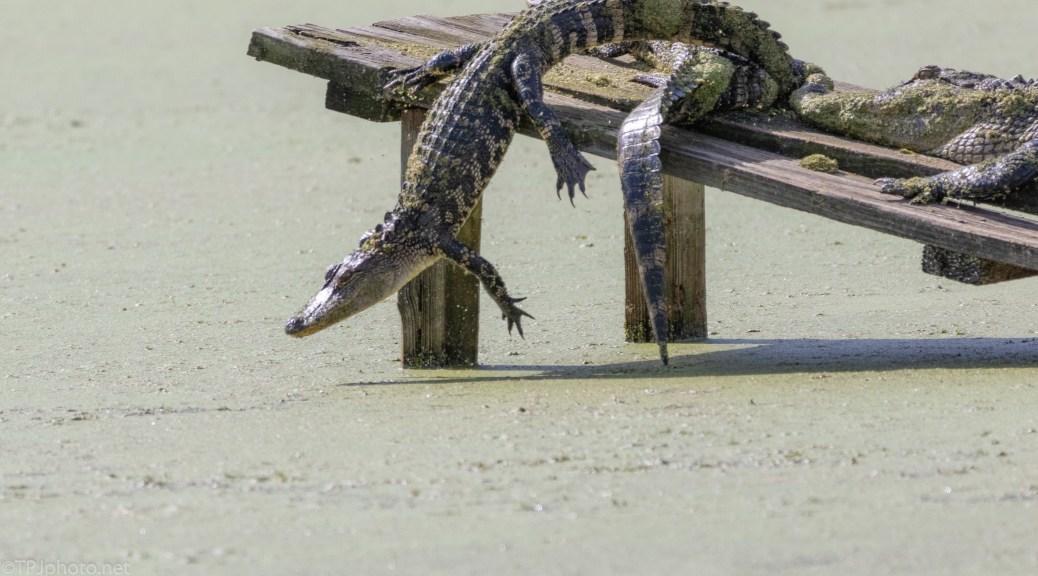Quick Getaway, Alligator - click to enlarge