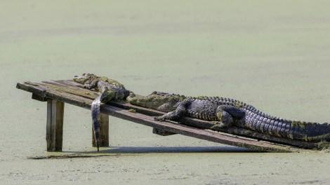 Quick Getaway, Alligator