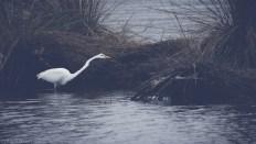 Dark Matte Egret - click to enlarge