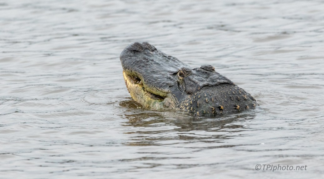A Head, Crunch, And Gone, Alligator - click to enlarge