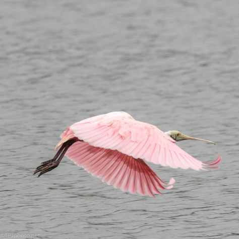 Making An Exit, Spoonbill - click to enlarge