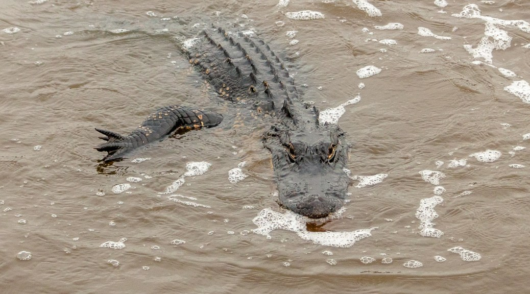 Heading Over, Alligator - click to enlarge