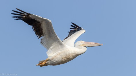 Quick Pelican Fly By - click to enlarge