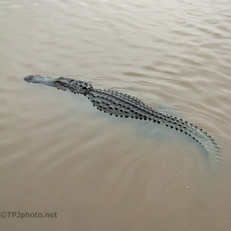 Big Fella, Alligator - click to enlarge