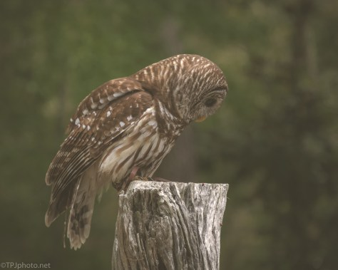 Barred Owl - click to enlarge