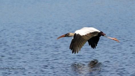 Gentle Giant, Wood Stork - click to enlarge