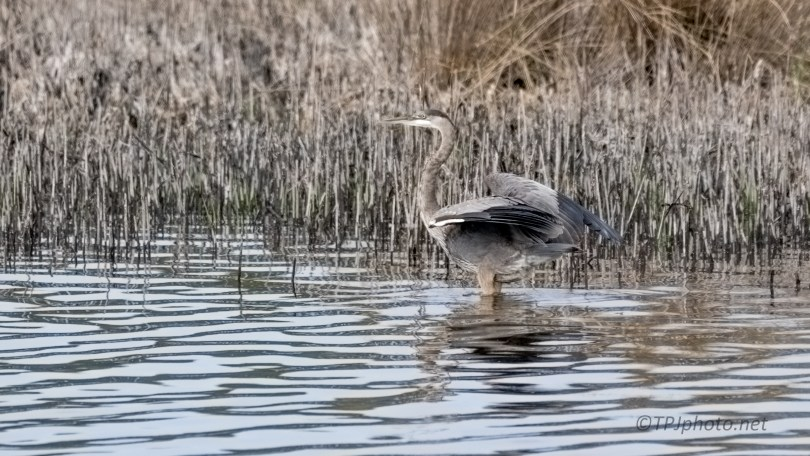 Great Blue Heron, Landing By The Reeds - click to enlarge