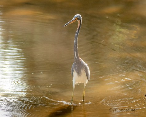 Tricolored Heron, Tidal Canal - click to enlarge