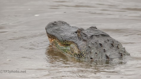 Gets Your Attention, Alligator - click to enlarge