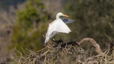 Soft Landing, Great Egret - click to enlarge