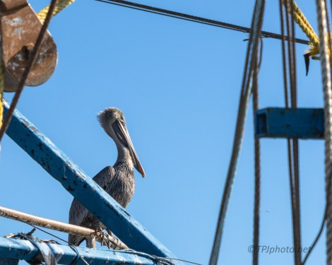 A Pelican Yodel - click to enlarge