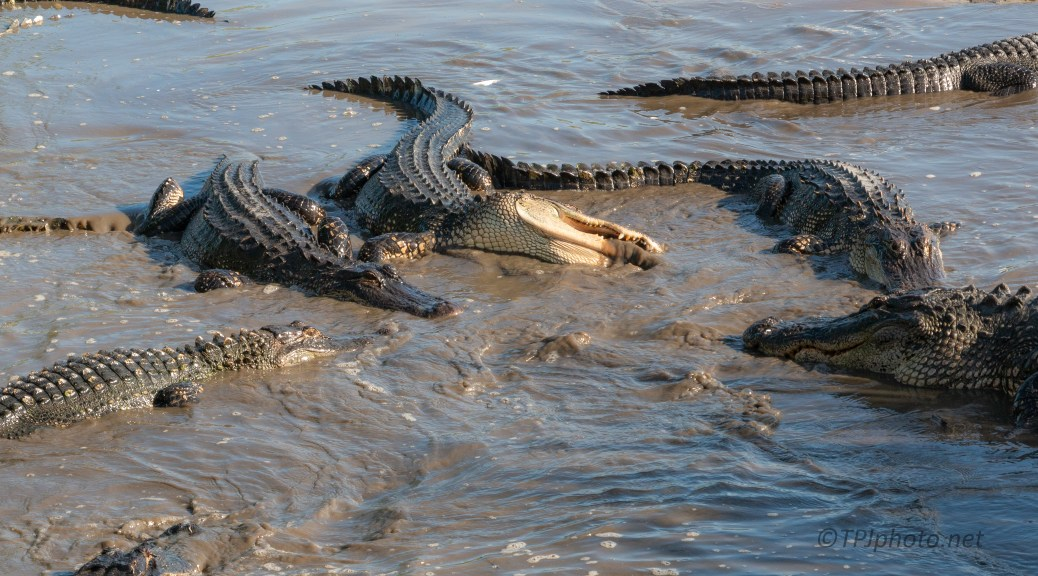 Chaos, Alligator - click to enlarge
