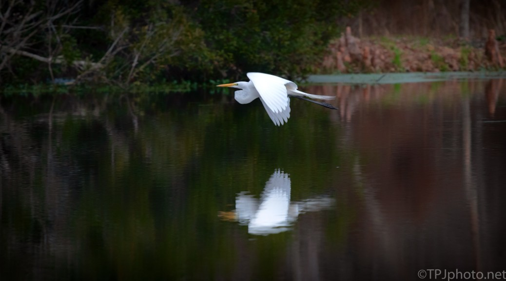 Great Egret Flying Low - click to enlarge