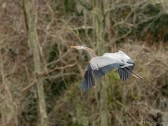 Great Blue Working Construction - click to enlarge