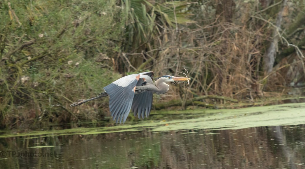 Working Through The Swamp, Heron - click to enlarge