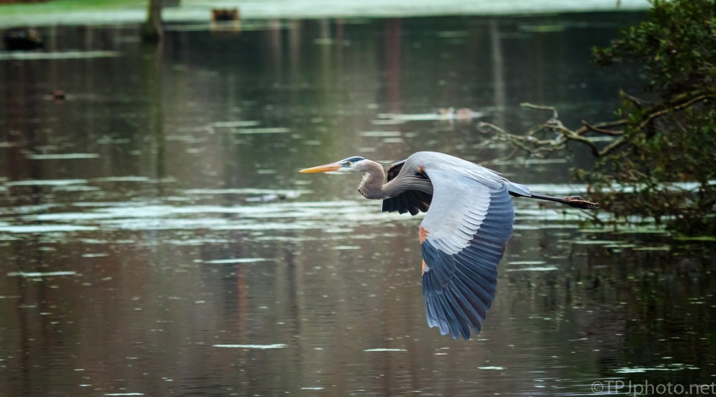 Great Blue On Stick Retrieval - click to enlarge