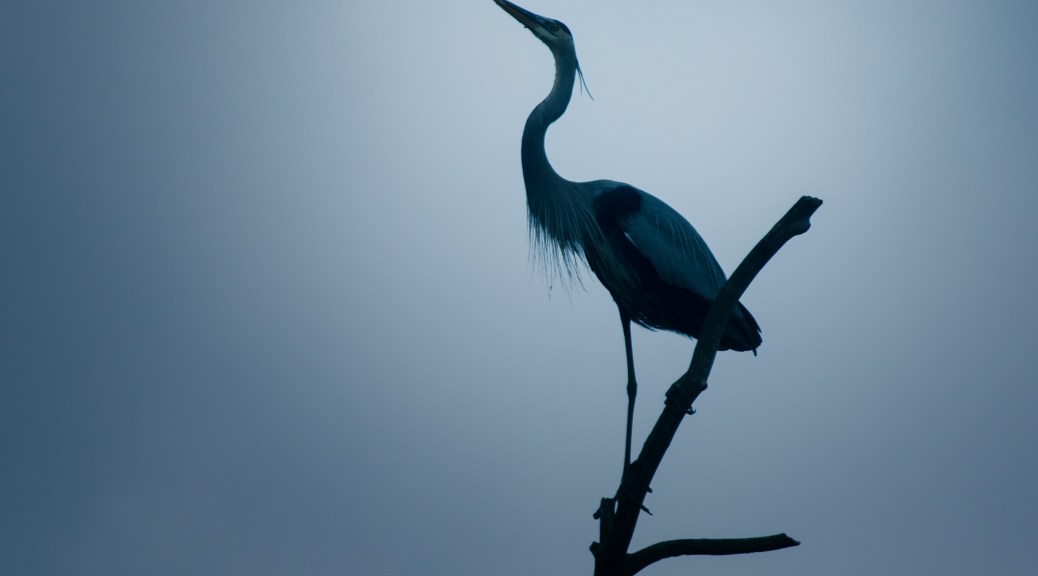 Great Blue, On High - click to enlarge
