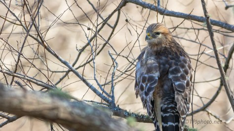Red-shouldered Hawk, Sitting Along A Trail - click to enlarge