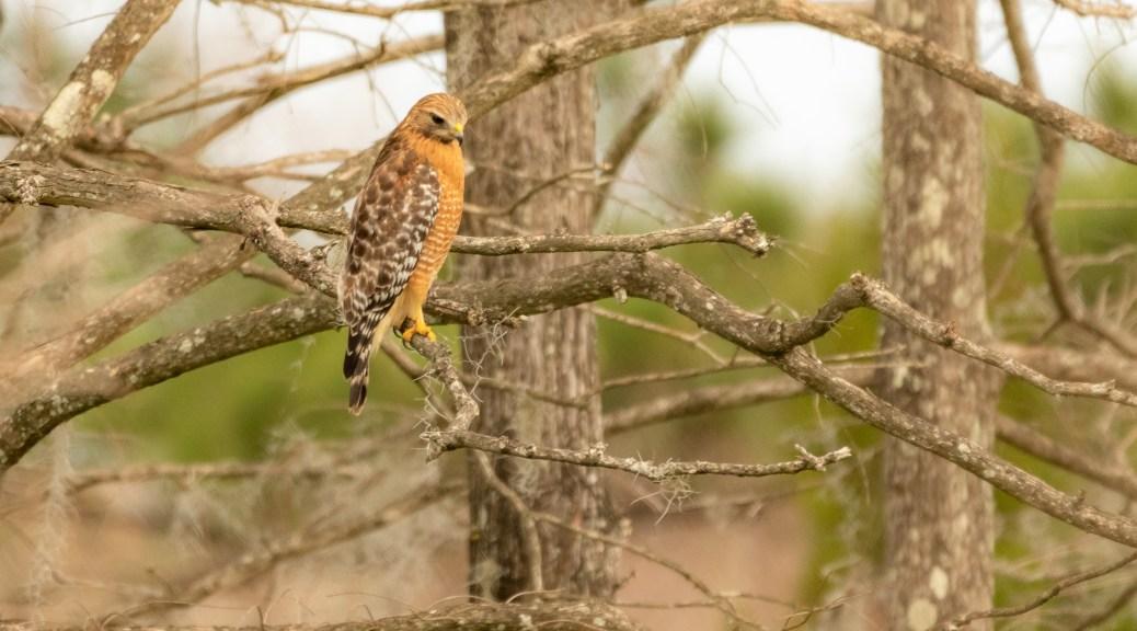 Hidden Red-shouldered Hawk - click to enlarge