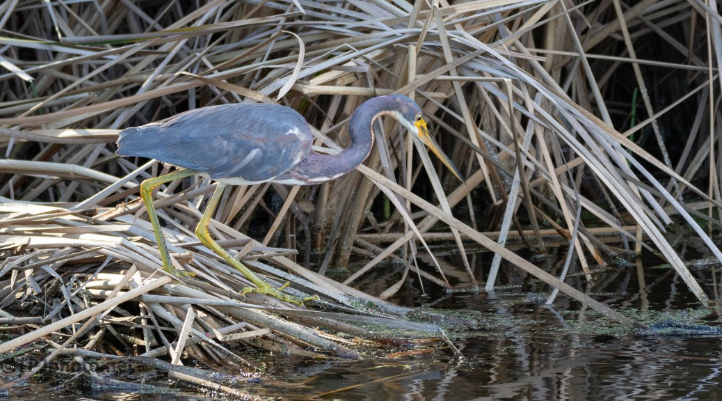 Deep In The Reeds (2), Tricolored Heron - click to enlarge