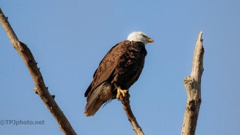 Bald Eagle Over Ashley River — click to enlarge
