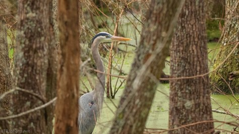 Passing By, Heron - click to enlarge