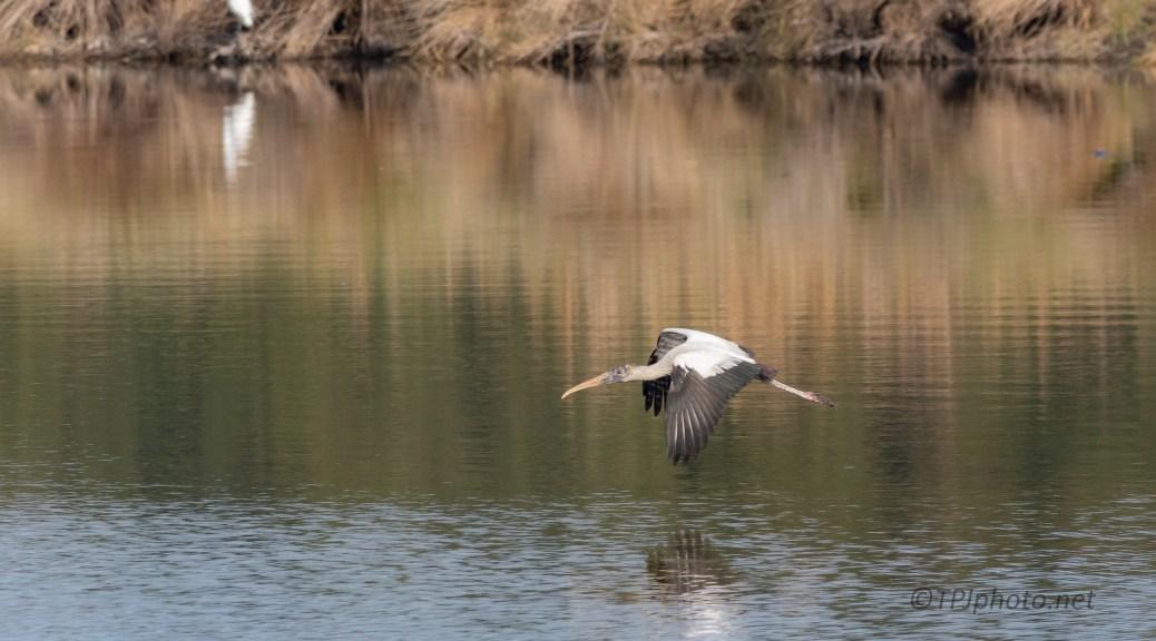 Slow Glide, Wood Stork - click to enlarge