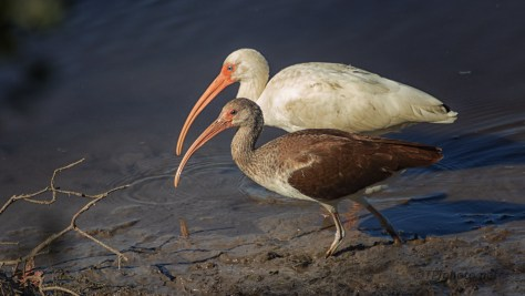 A Family Portrait, Ibis - click to enlarge