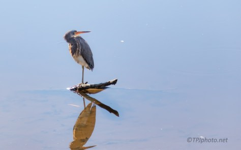 A Very Photogenic Tricolored Heron - click to enlarge