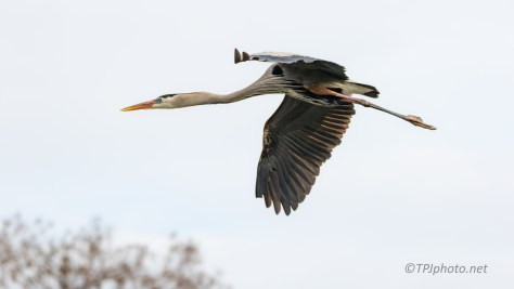 Must Have Caught A Breeze, Heron - click to enlarge