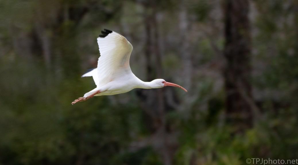 White Ibis Surprise - click to enlarge