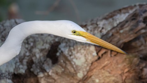 Stealthy Egret - click to enlarge