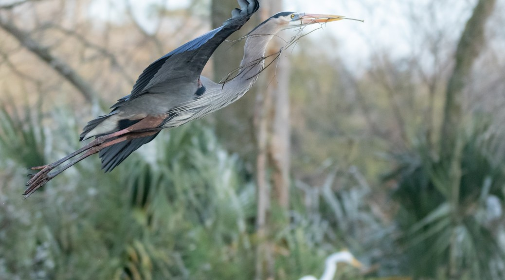 Gliding Through A Swamp Towards A Nest, Heron - click to enlarge