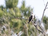 Osprey With A Catch - click to enlarge