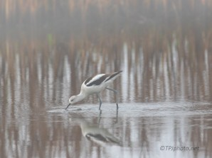 Foggy Avocet - click to enlarge
