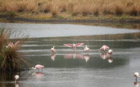 A Marsh Scene, Spoonbills - click to enlarge