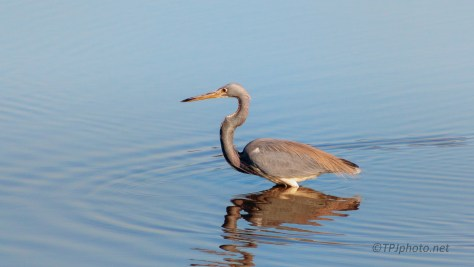 Tricolored Heron Wading Deep - click to enlarge