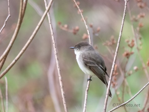 Eastern Phoebe, Easy Shots