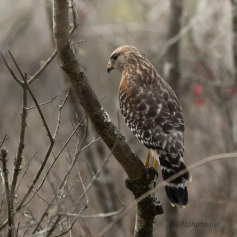 Hawk Behind Me
