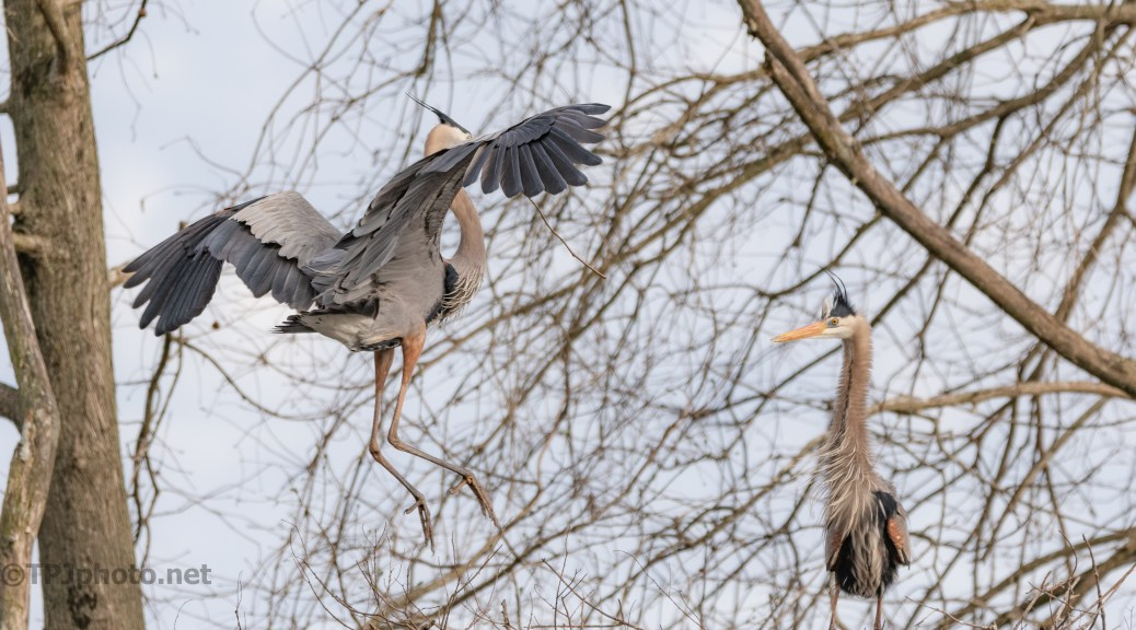 My Hero, Great Blue Heron