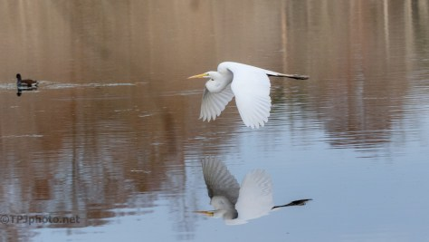 A Near Perfect Fly By, Egret