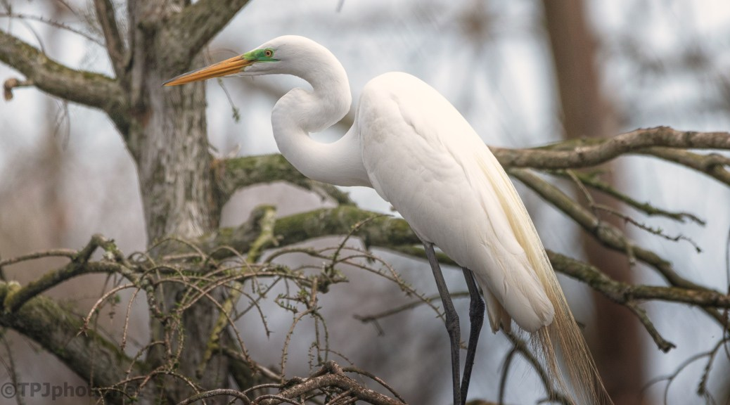 Classic Great Egret Pose