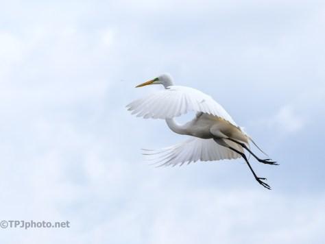 Great Egret, Graceful In Flight