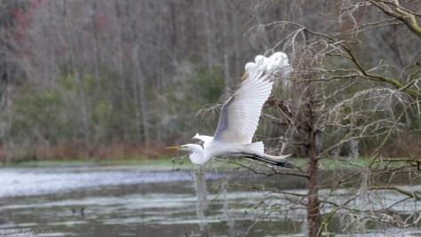 Through A Swamp, Great Egret