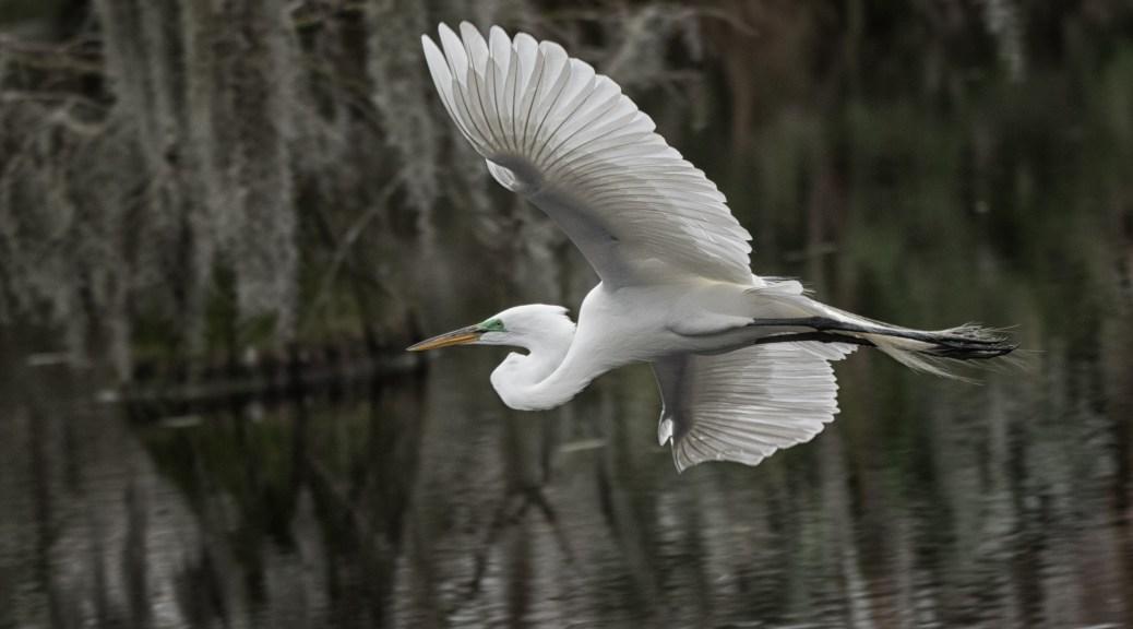 A Quick Snap Shot, Egret