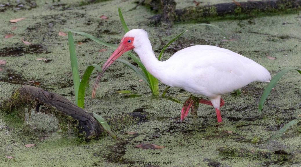 Ibis In Breeding Colors