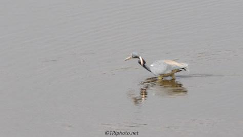 Jumping Tiny Fish, Tricolored Heron