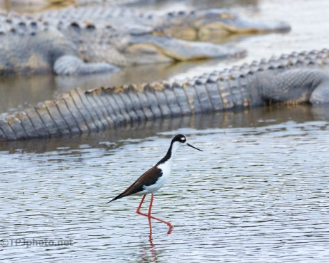 Black-necked Stilt Walking By