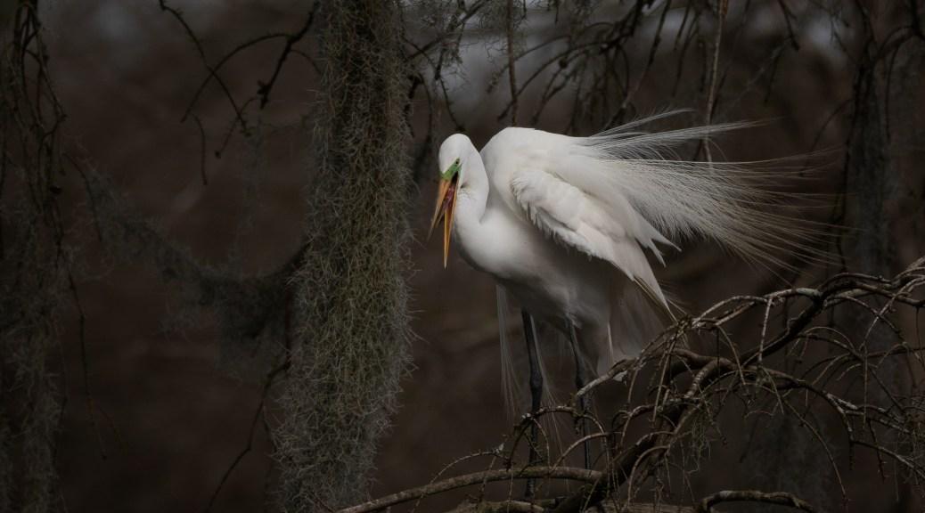 Evening Egret